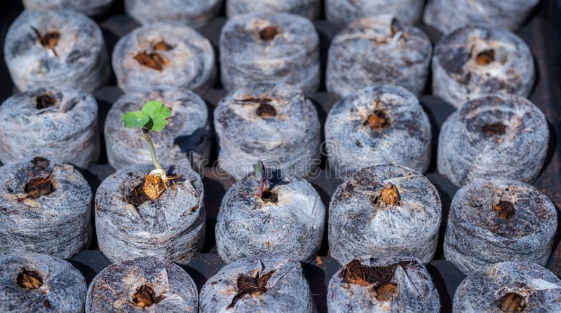 Small Seedlings just Emerging royalty free stock images