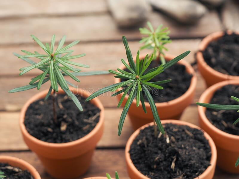 Small seedlings of the Nordmann fir in plant pots on a plant table, gardening or forestry concept stock photography