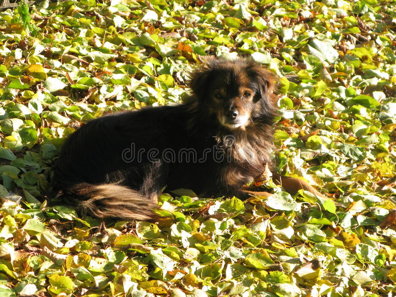 A small shaggy dog. Resting on autumn leaves stock photos
