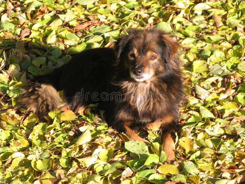 A small shaggy dog. Resting on autumn leaves royalty free stock images