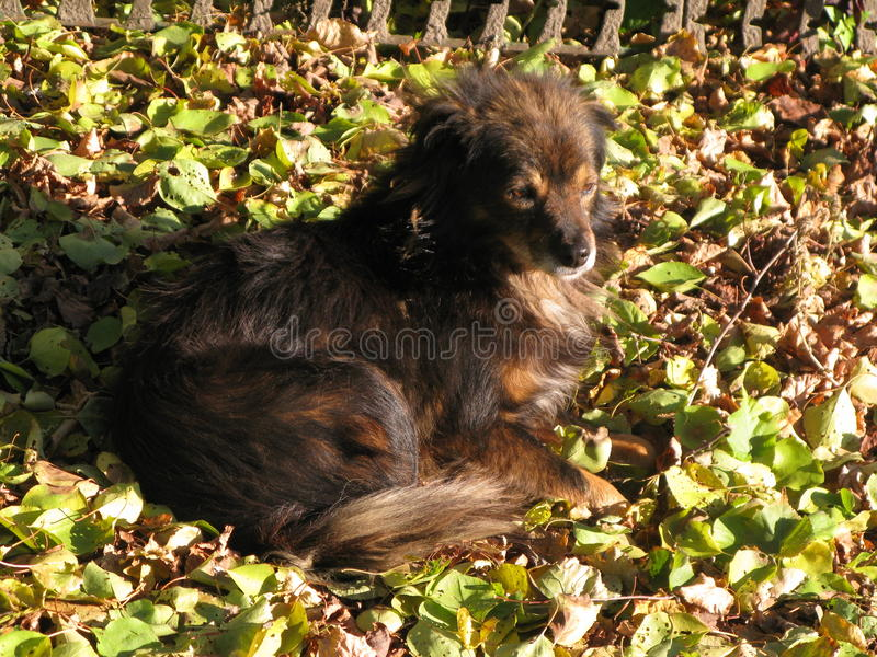 A small shaggy dog. Resting on autumn leaves royalty free stock photos