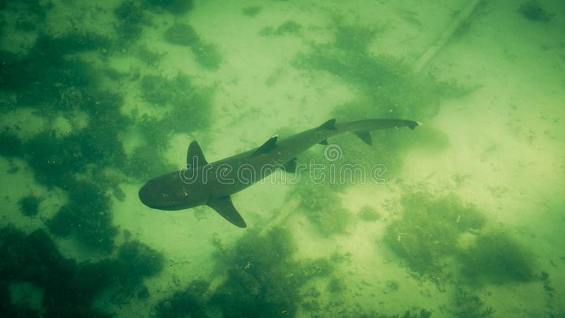 Small shark or baby hiu from above in green water sea in narrow beach water. In indonesia royalty free stock images
