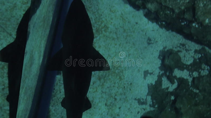 Small Shark Swimming Under Glass Floor In Oceanarium Stock Footage