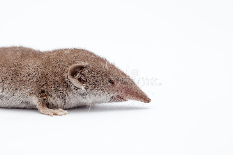 An small shrew royalty free stock images