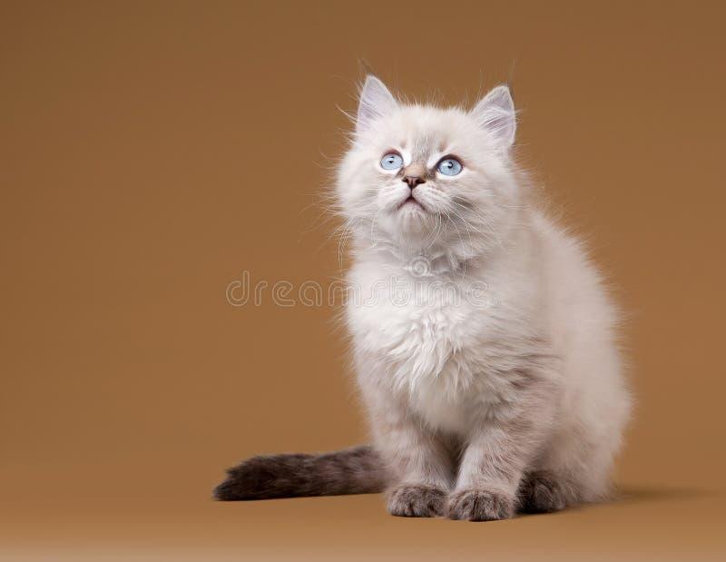 Download Small Siberian Kitten On Light Brown Stock Photo - Image: 26595282