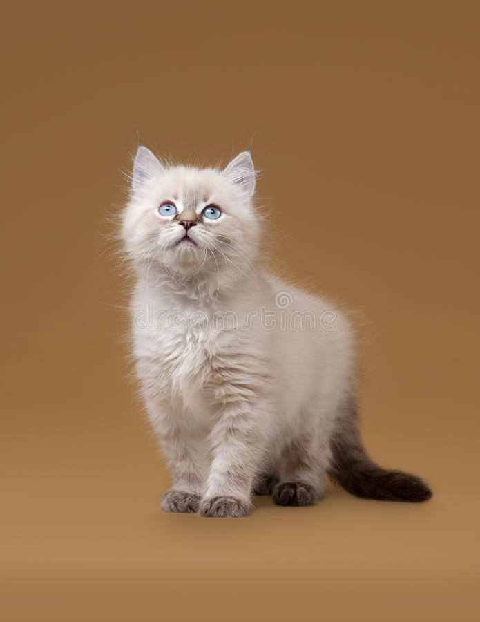 Download Small Siberian Kitten On Light Brown Royalty Free Stock Photos - Image: 26595358