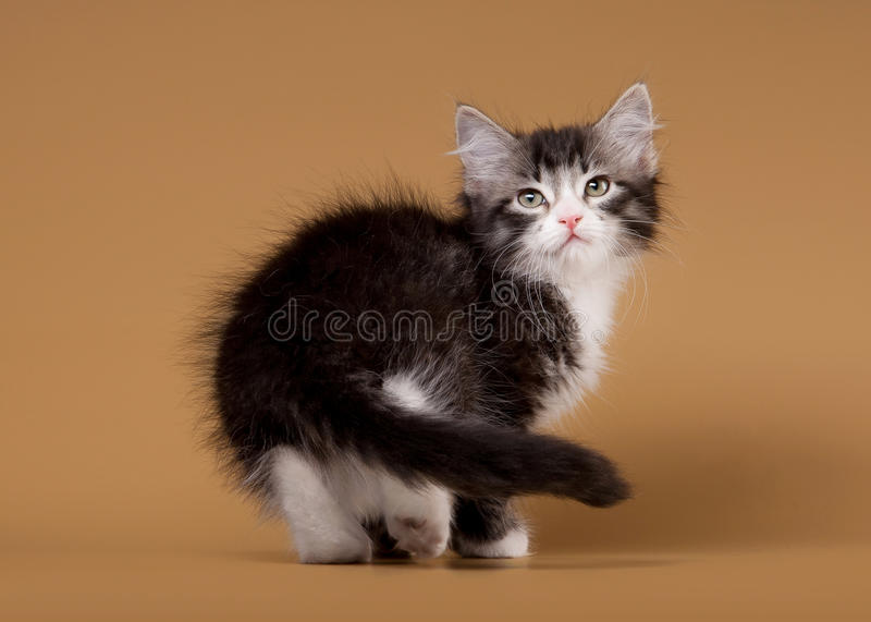 Download Small Siberian Kitten On Light Brown Stock Image - Image: 26596089
