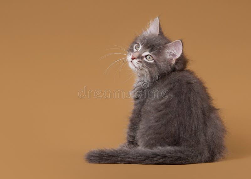 Download Small Siberian Kitten On Light Brown Stock Image - Image: 26596477
