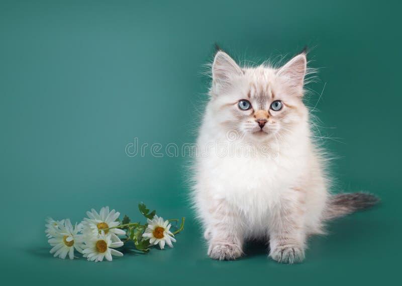 Small Siberian Neva Masquarade colorpoint kitten royalty free stock image