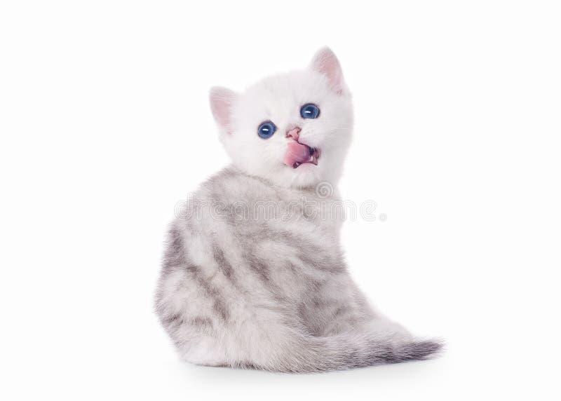 Small silver british kitten royalty free stock photo