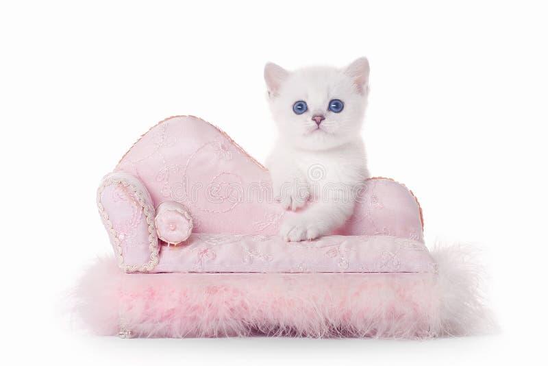 Small silver british kitten on pink divan stock image