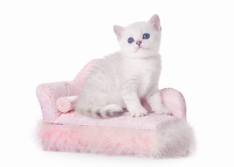 Small silver british kitten with pink divan stock photos