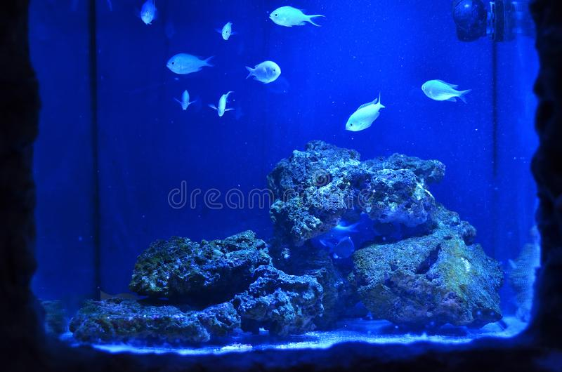 Small silvery fish float around the stones. In a large aquarium stock image