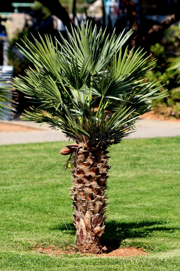 Small single Palm tree or Arecaceae planted in local park surrounded with green grass stock photos