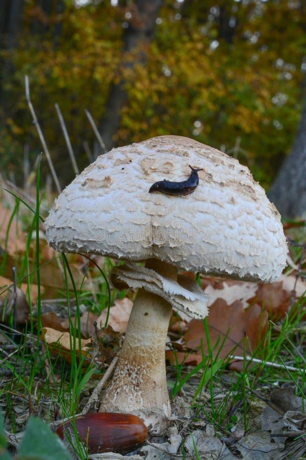 Small slug on Parasol mushroom. Small black slug on the top of Macrolepiota mushroom in autumn oak forest stock photography