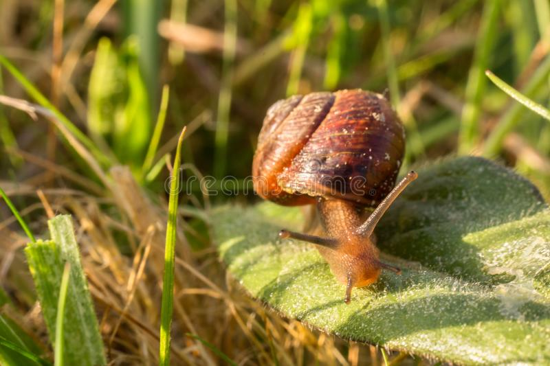 Small snail from up on green leaf, macro photo.  royalty free stock images