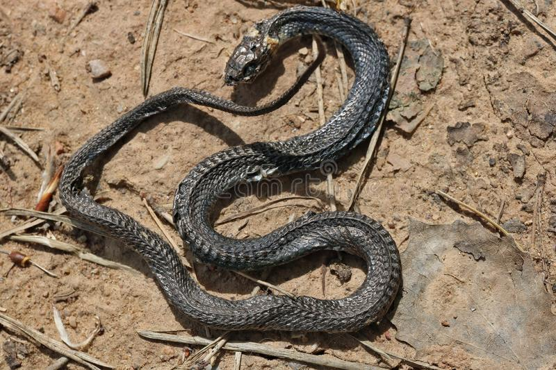 A small snake died on a sandy road due to anomalous heat stock photos