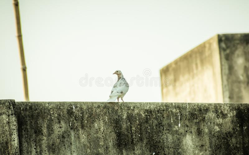A small snow white fantail and brown black spotted feather Pigeons Columba livia domestica, a Plump bird sitting on the roof of. A house. Close Up royalty free stock photography
