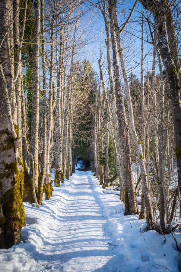 Small snowy road with tree avenue on sunny winter day royalty free stock image