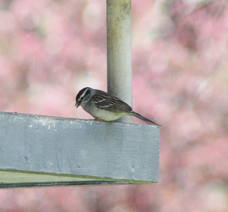 Sparrow on a feeder royalty free stock photos