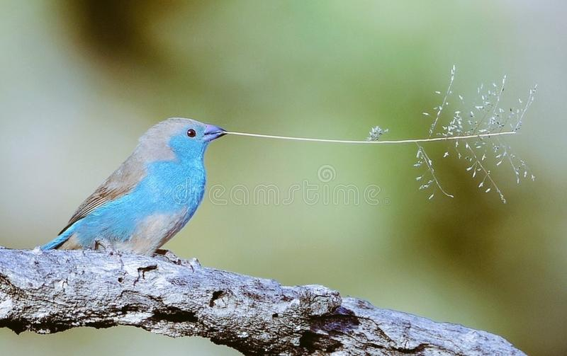 Small songbird with twig