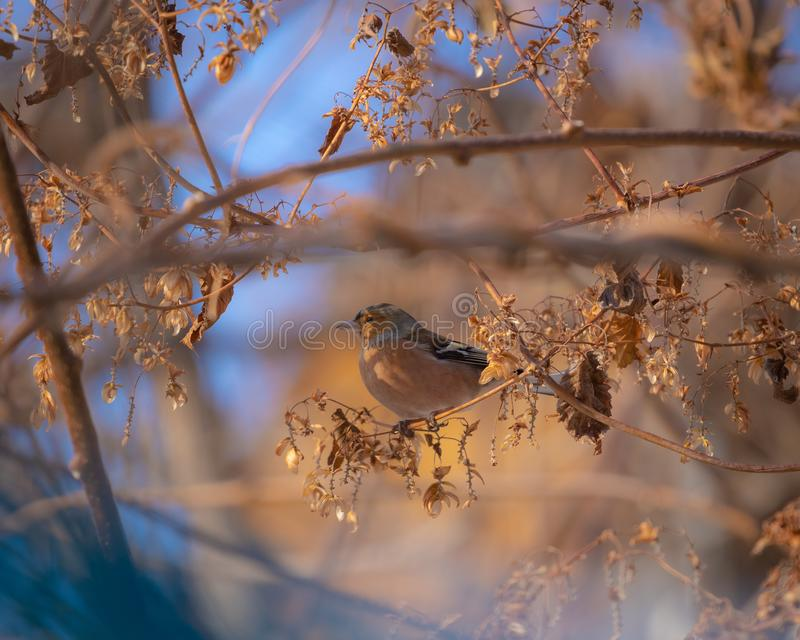 Small sparrow in the autumn leaves royalty free stock image