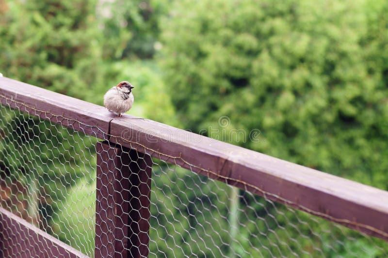 A small sparrow bird sits on a wooden terrace balustrade. stock photo