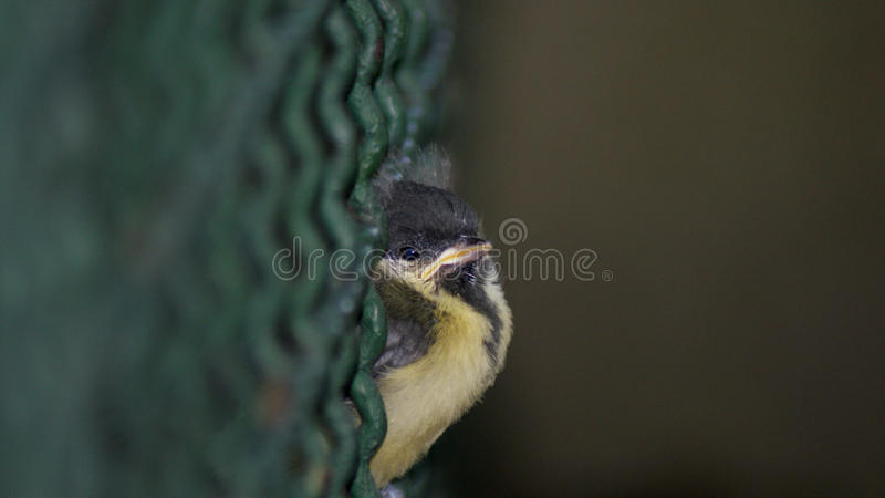 Angry small sparrow royalty free stock photo