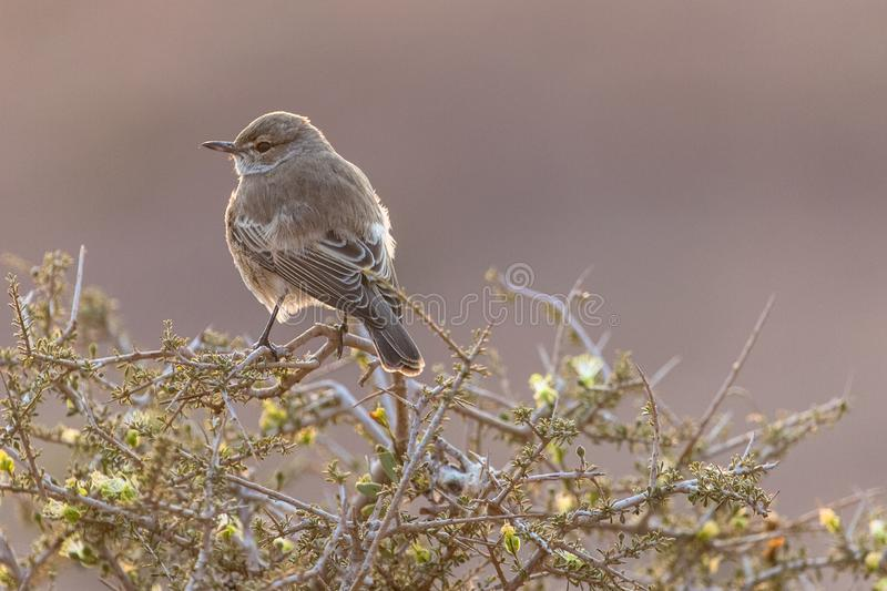 Small sparrow marico fly catcher in backlighting in the Palwag concession Namibia. Palwag is a huge concession populated by most of Africa`s iconic animals, such stock photography