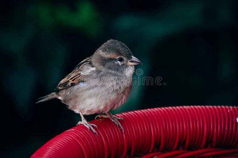A small sparrow sits on a chair in Varedaro, Cuba. stock photo