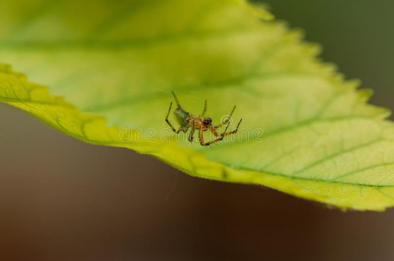 A small spider standing on a green leaf.Insect.Background stock images