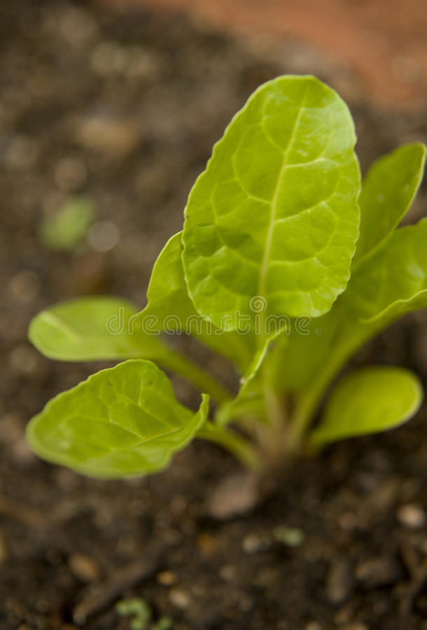 Small spinach plant stock photography