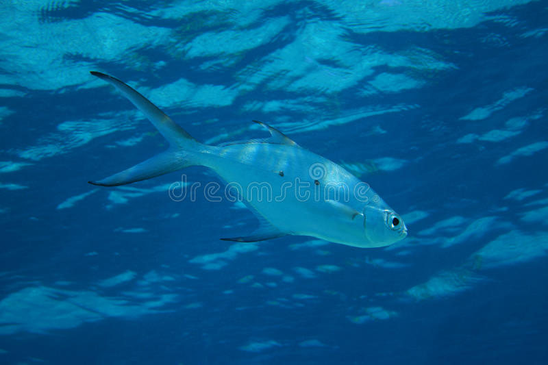 Small spotted dart fish. (Trachinotus baillonii) in shallow waters of the indian ocean royalty free stock image