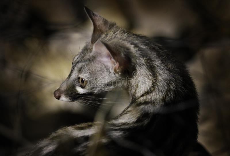 Small-spotted genet, G. genetta, in the dark forest, Etosha NP, Namibia, Africa. Night nature, detail portrait of beautiful animal royalty free stock images
