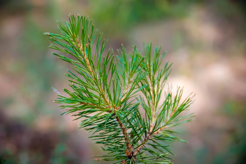 A small sprig of green spruce, in the woods. A small sprig of green spruce in the woods royalty free stock images