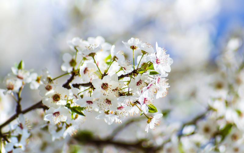Small spring bloom gentle white flowers on a tree - closeup shot royalty free stock photography