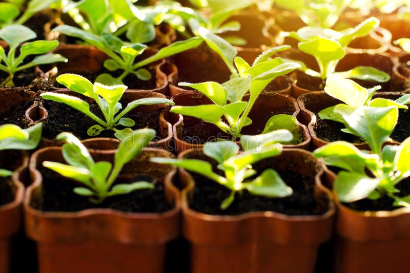 Small sprouts in brown pots, growing in the bright rays of the spring sun. The concept of gardening, environmental friendliness, f. Arming stock photo