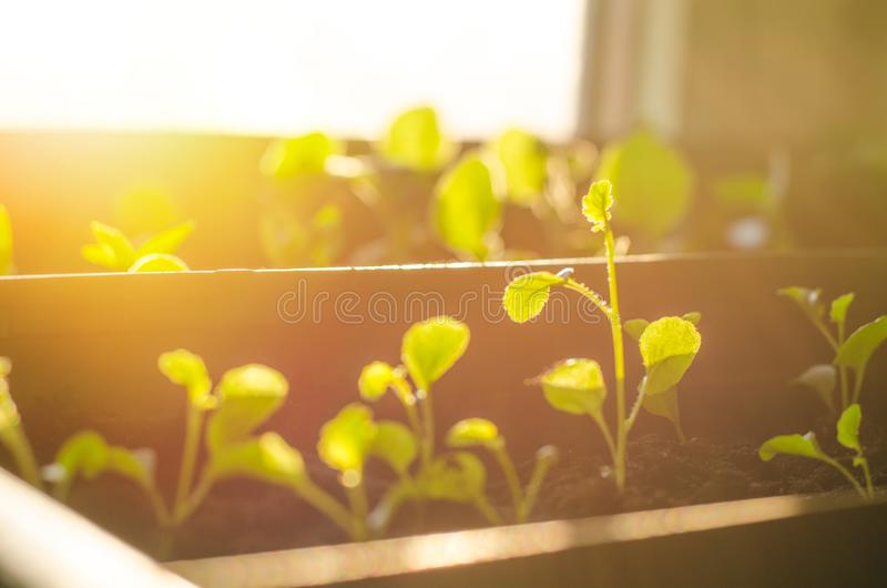 Small sprouts in brown pots, growing in the bright rays of the spring sun. The concept of gardening, environmental friendliness, f. Arming stock photography