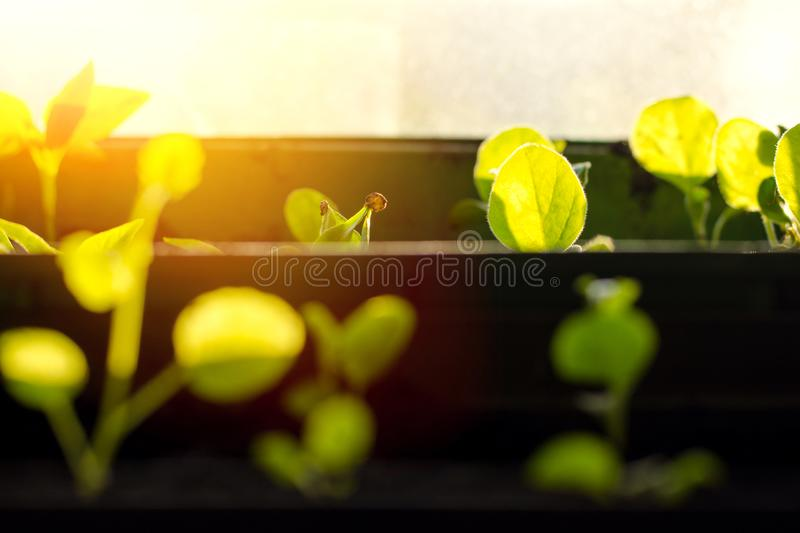 Small sprouts in brown pots, growing in the bright rays of the spring sun. The concept of gardening, environmental friendliness, f. Arming royalty free stock photography