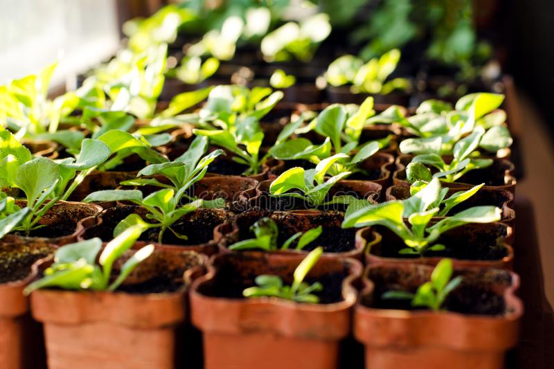 Small sprouts of Petunia flowers in brown pots, growing in the bright rays of the spring sun. The concept of gardening, environmen. Tal friendliness, farming stock photos