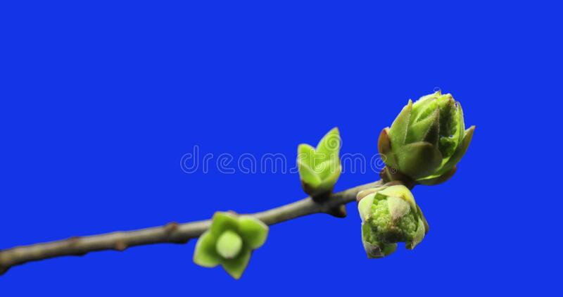 Small sprouts rising on branch of tree, germination process, evolution, spring time lapse, pestel, female flower, blue. Small sprouts rising on branch of tree royalty free stock photography