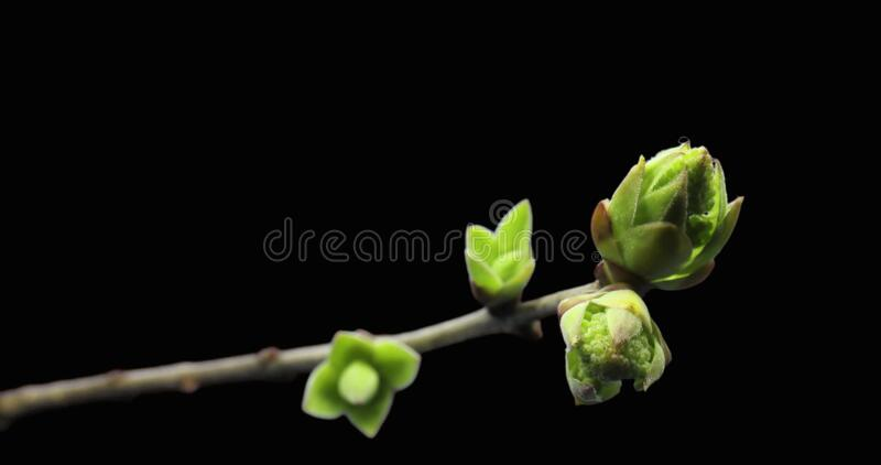 Small sprouts rising on branch of tree, germination process, evolution, spring time lapse, pestel, female flower. Video stock images