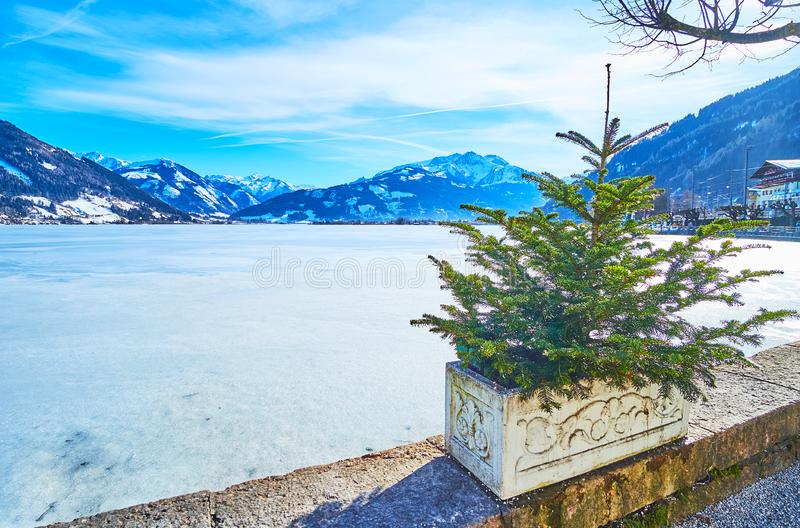 The small spruce on bank of Zeller See, Zell am See, Austria royalty free stock image