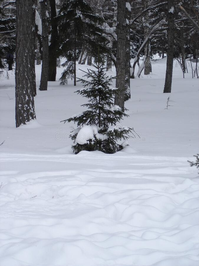 Small fir tree on white snow in a winter forest stock photography