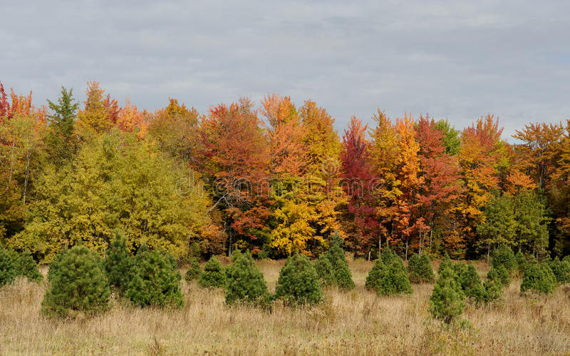 Download Small Spruces In Front Of Autumn Trees Stock Photo - Image: 12043284