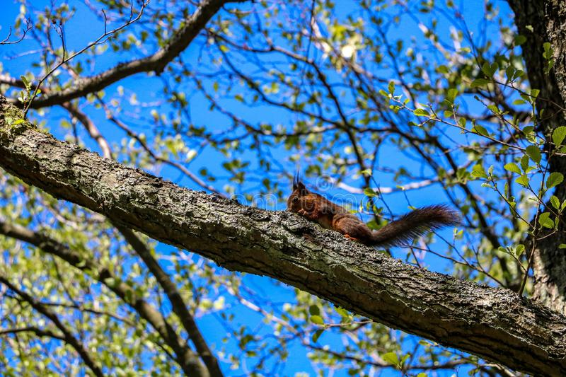 A small squirrel on a tree branch. Small squirrel with a big tail before hopping from tree royalty free stock photo