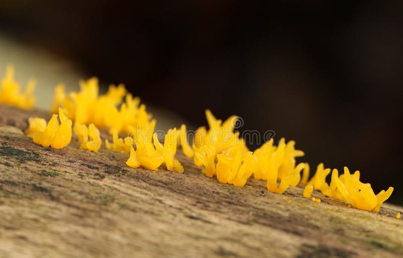 Small Stagshorn Mushrooms, Calocera cornea, growing from a dead tree in a forest in the UK. royalty free stock image
