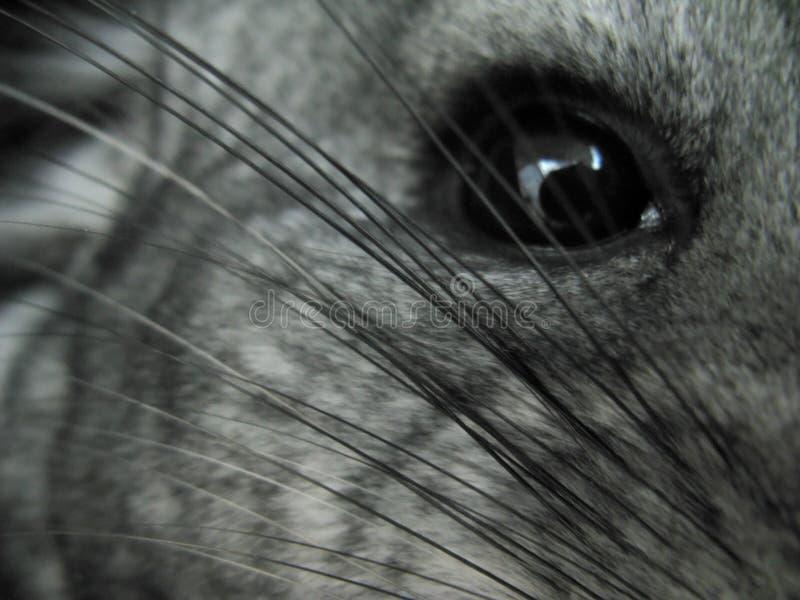small standard domestic gray chinchilla stock images