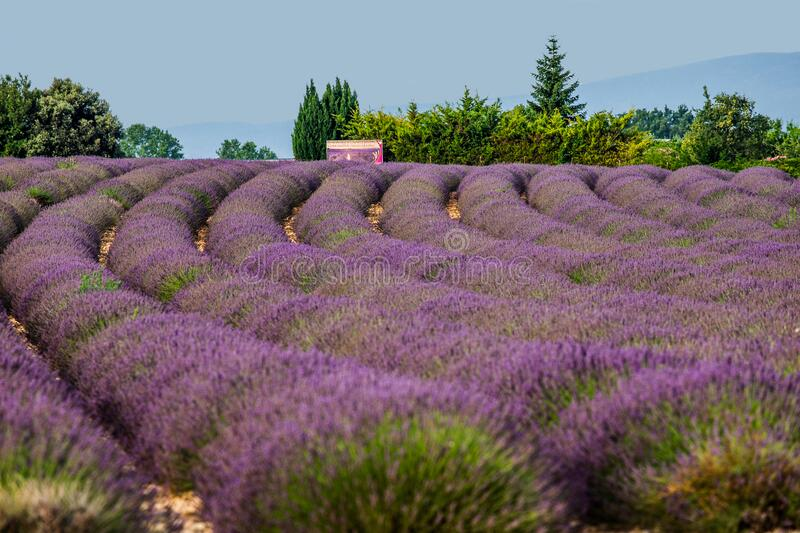 Small stone village house in the middle of a lavender field. stock photography