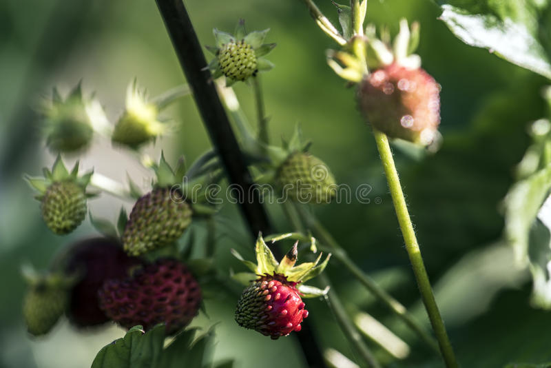 small strawberries royalty free stock image